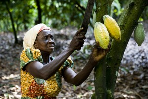Akosua Boadu harvesting, on her farm in village of Amankwaatia